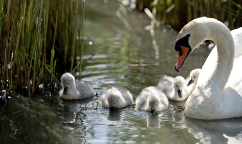 Family Of Adult And Baby Swans