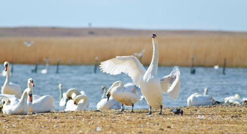 An adult mute swan stretches its wings in front of the Fleet Lagoon in Dorset