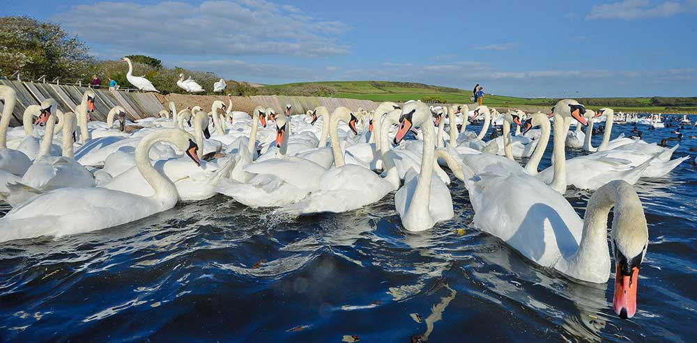 Swans from The Fleet at Abbotsbury Swannery