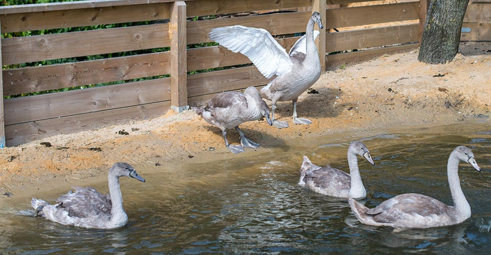 Cygnets learning to fly
