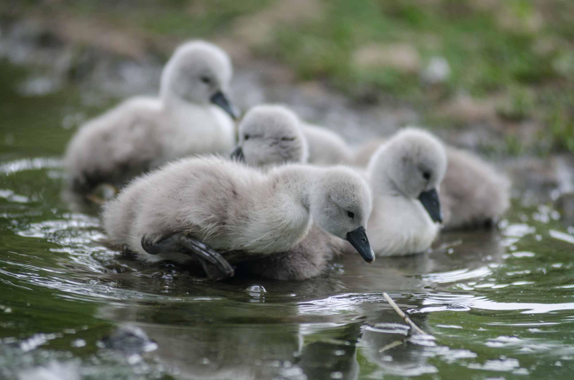 Abbotsbury Swannery Baby Swans