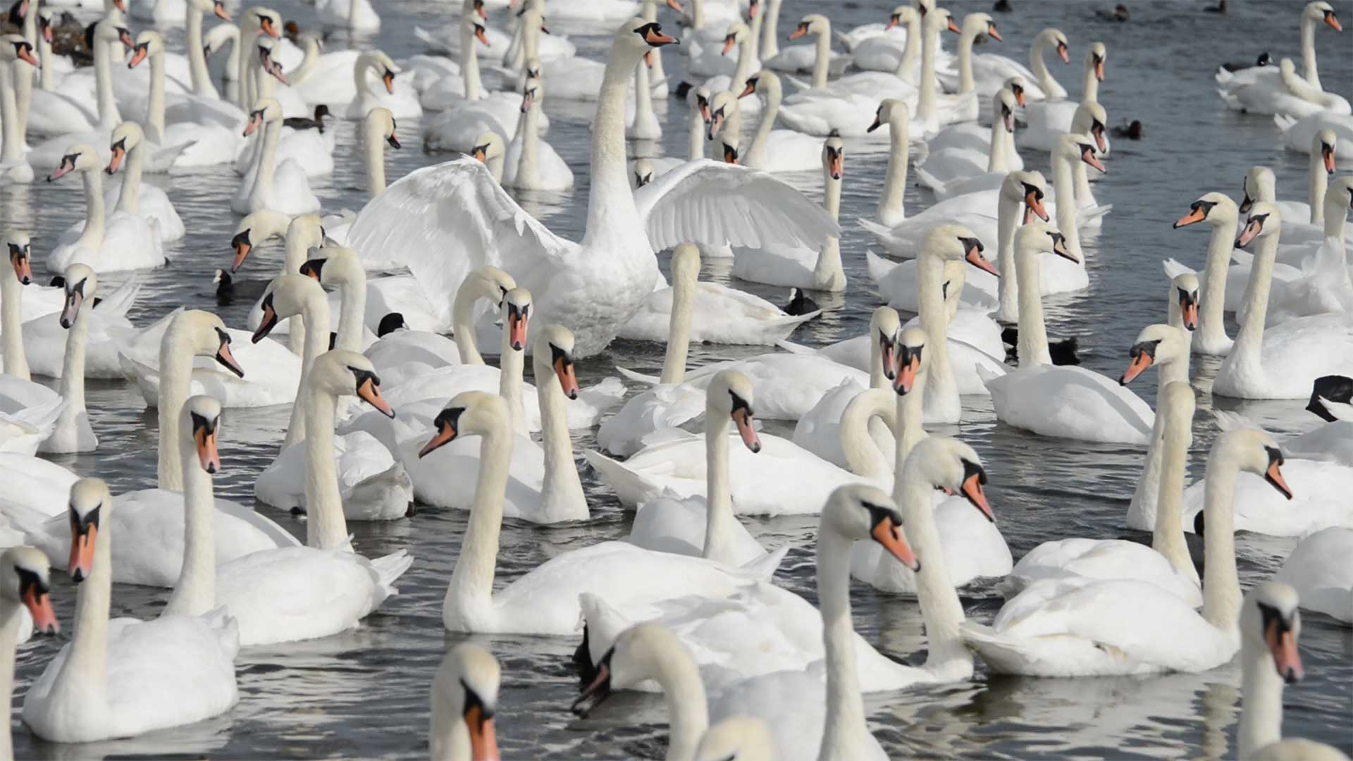 Swans on the Fleet Lagoon