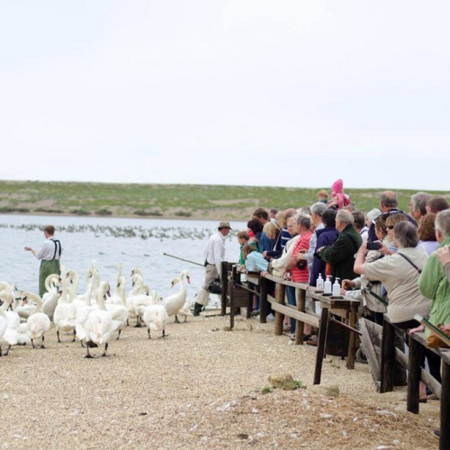 Feeding time at Abbotsbury Swannery!