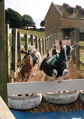 Goat racing!