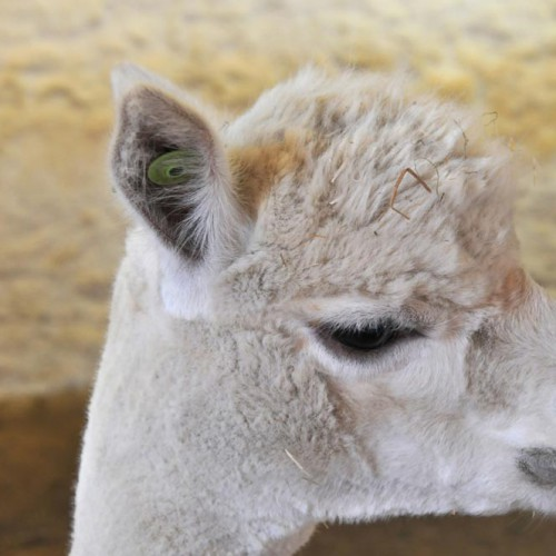 Feed the Alpaca!