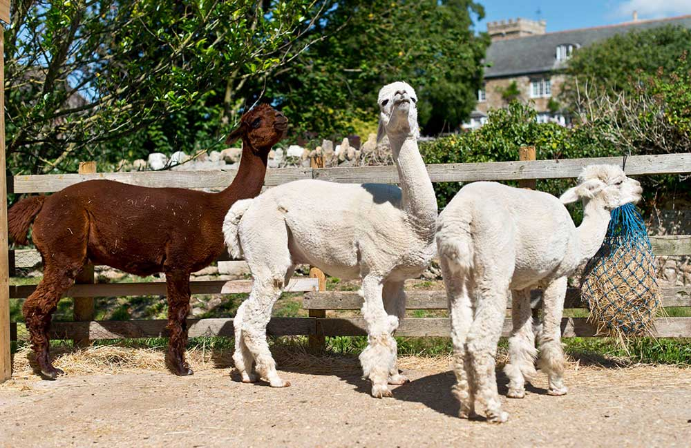 Alpacas at Abbotsbury Children's Farm
