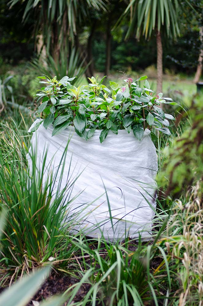 Fuschia Paniculata wrapped to protect from frost