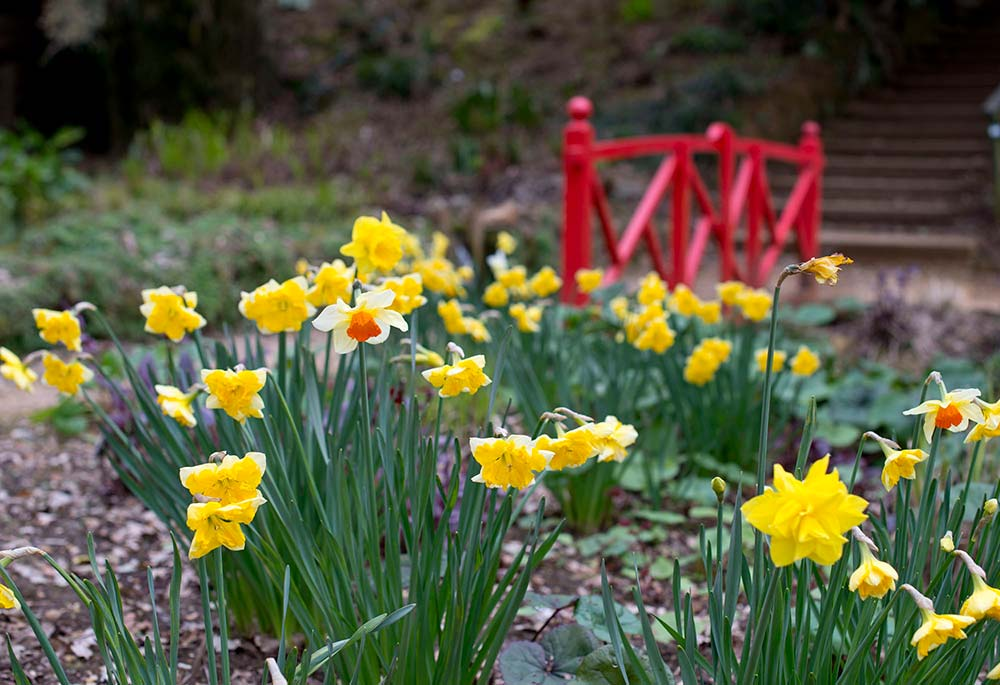 Narcissi in front of a red bridge