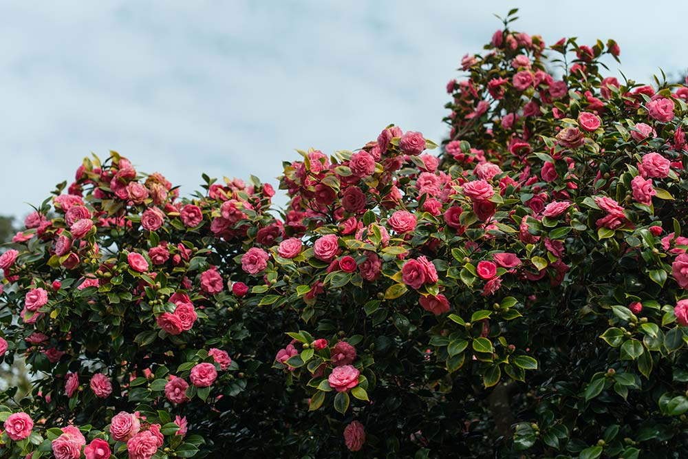 Camellias in March