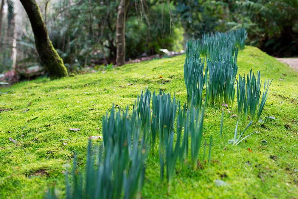 Daffodils beginning to sprout up