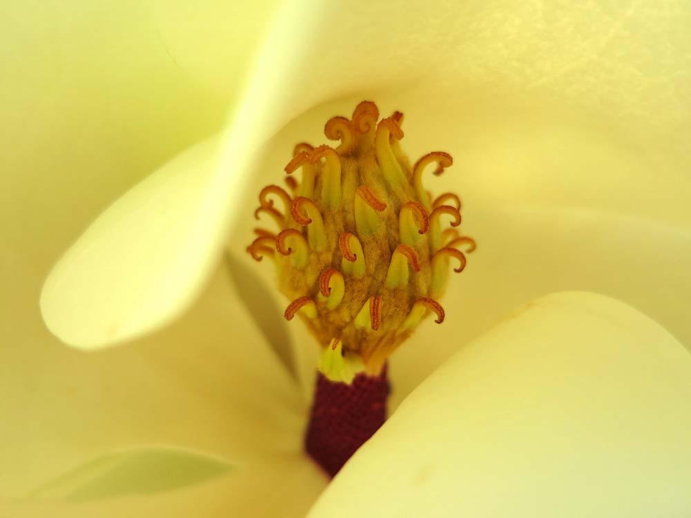 Extreme Close-up Of A Magnolia