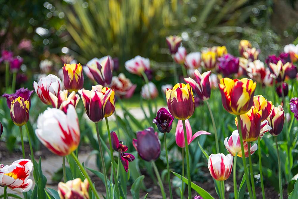 Fiesta Of Colour - Tulips In The Victorian Walled Garden
