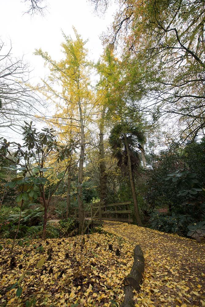 Gingko Boloba Shedding Its Yellow Leaves