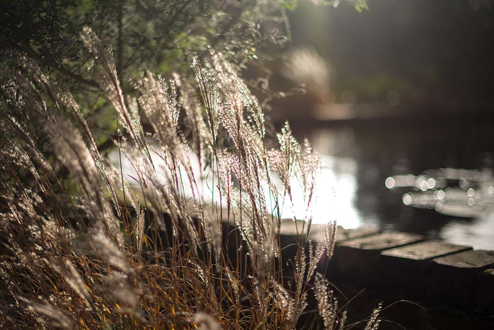 Grasses In The Sunlight In Front Of The Lily Ponds