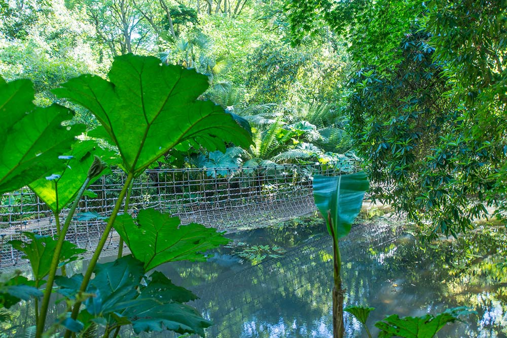 Gunnera manicata in front of the Burma Rope Bridge