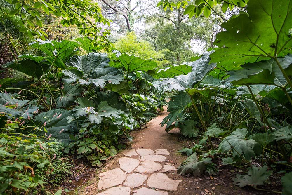 Walk Under The Giant Gunnera Manicata Leaves
