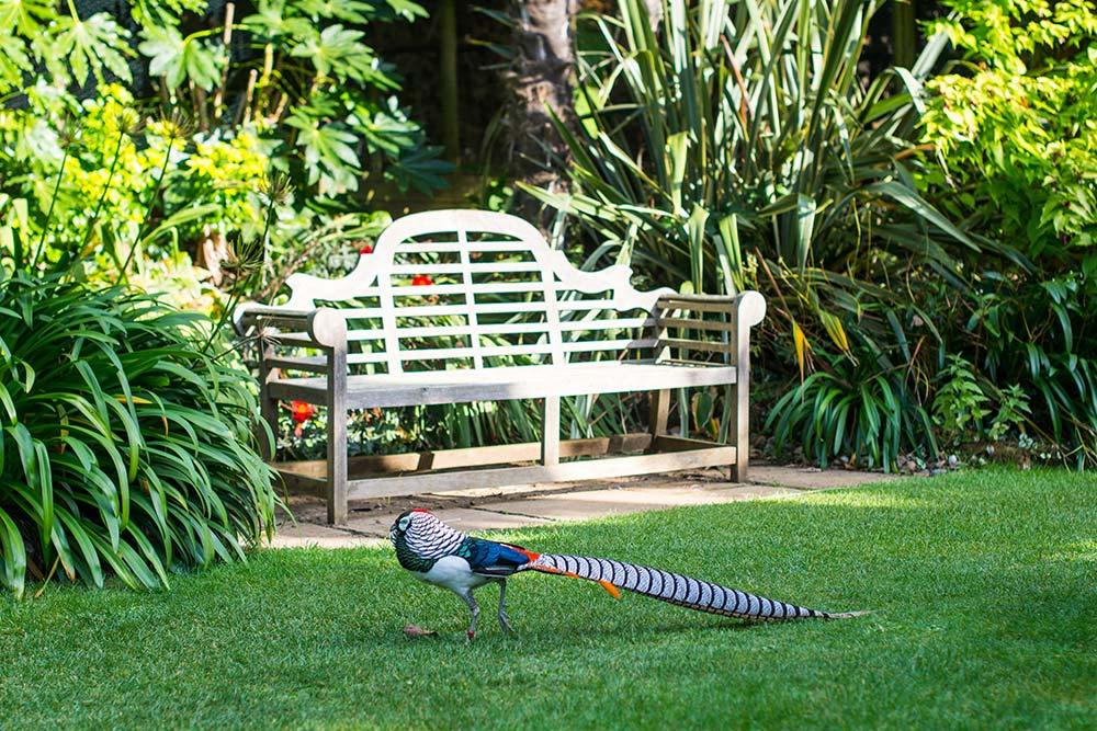 Lady Amherst's Pheasant In Front Of A Bench On The Sunken Lawn