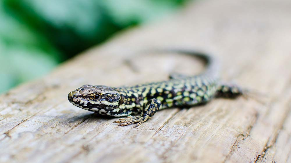 One Of Abbotsbury's Resident Lizards Poses For A Closeup!