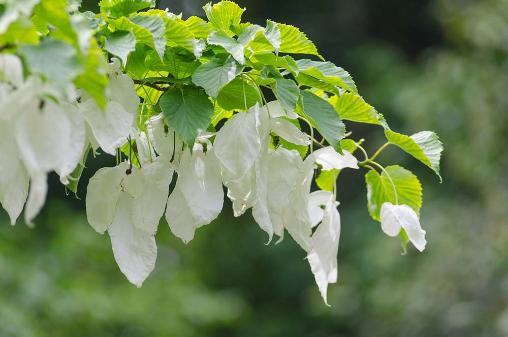 Pocket Handkerchief Tree