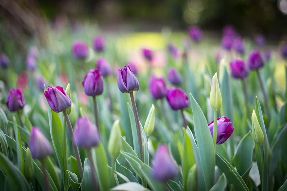 Purple Tulips In The Victorian Walled Garden