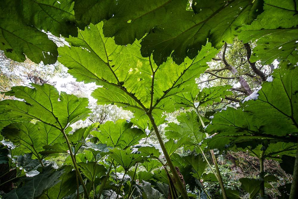 Find Shade Under The Gunnera Manicata Leaves