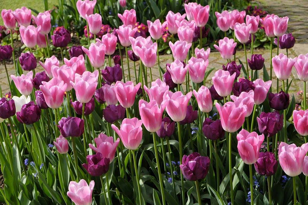 Tulip flower power!