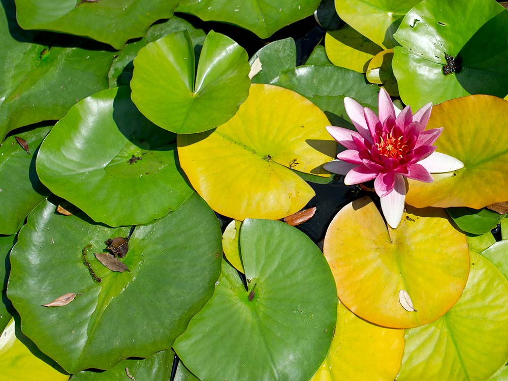 Water Lily on the Lily Ponds