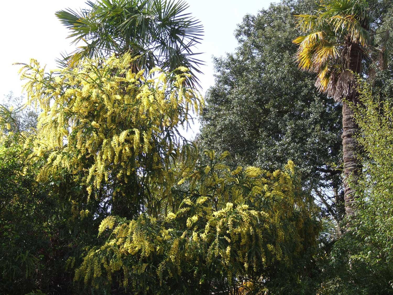 Acacia-pravissima-in-Vic-Garden