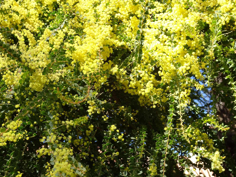 Acaia-pravissima-flowers—Copy