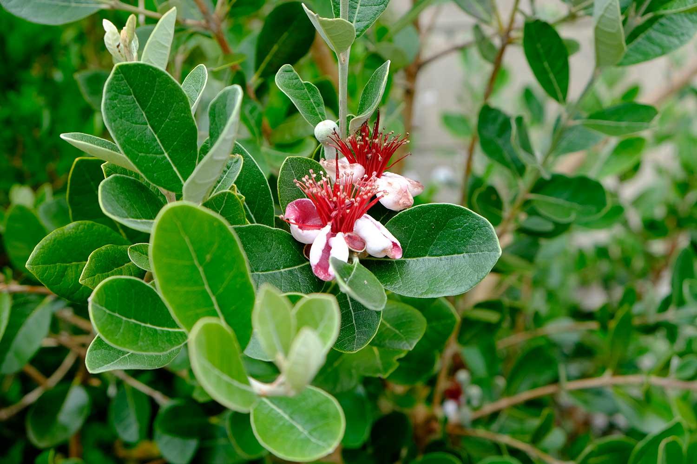 Acca-sellowiana