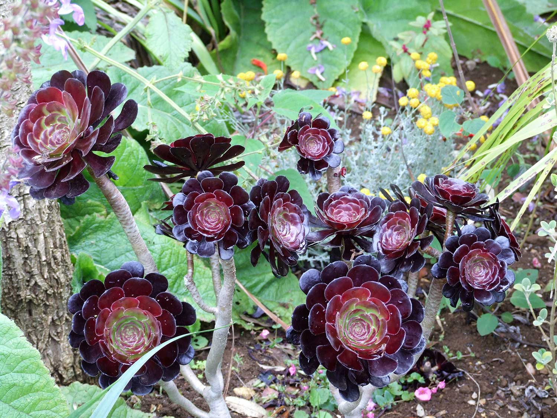 Aeonium-purpurea-swartztoph