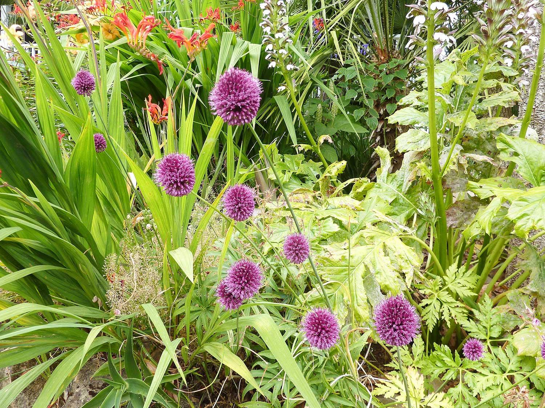 Allium-spherocephalum