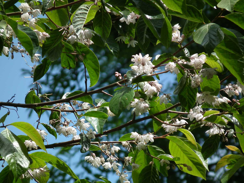 Alniphyllum-fortunei–1st-June-2011