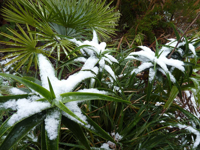 Aloe-striatula