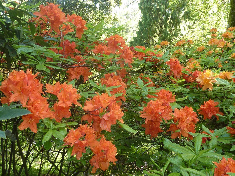 Azalea-orange