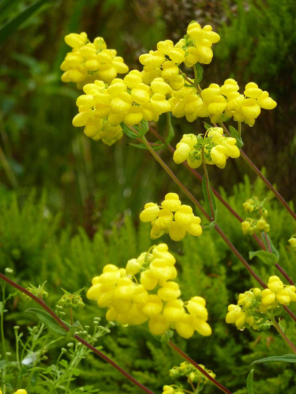 Calceolaria
