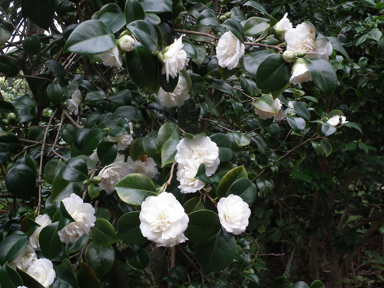 Camellia-japonica-'Nobilissima'-January-2013