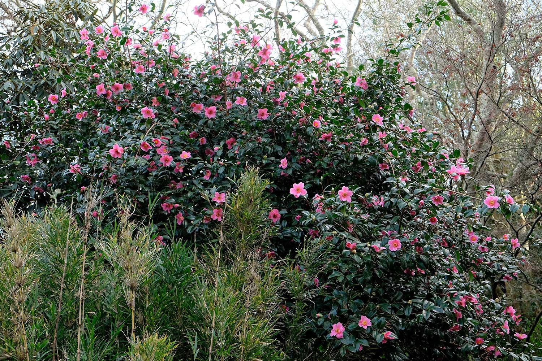Camellia-x-japonica-williamsii-'St-Ewe'