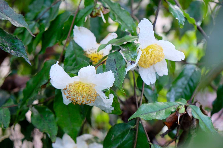 Camellia-yunnanensis