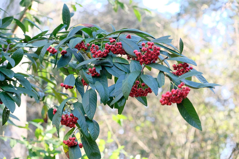 Cotoneaster-cornubia