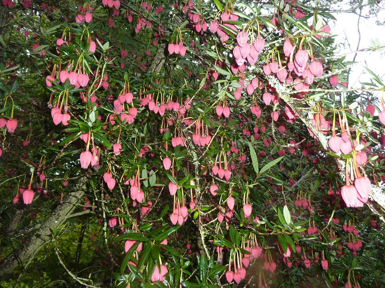 Crinodendron-hookerianum