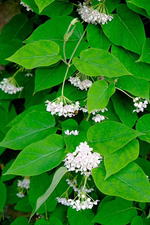 Drega-sinensis