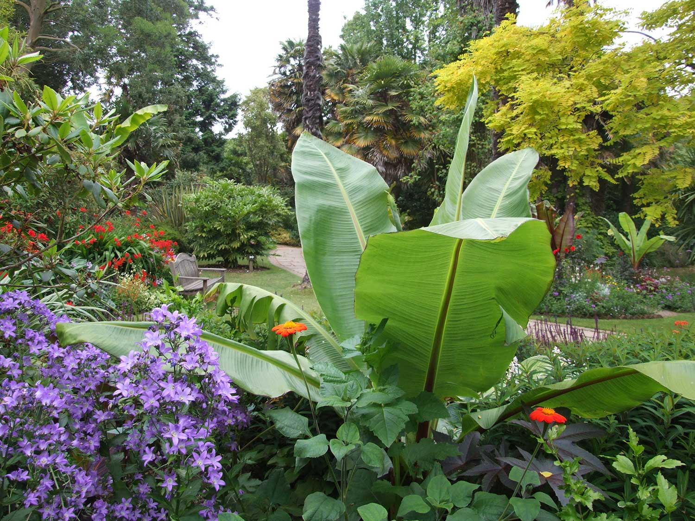 Ensete-in-Vic-Garden