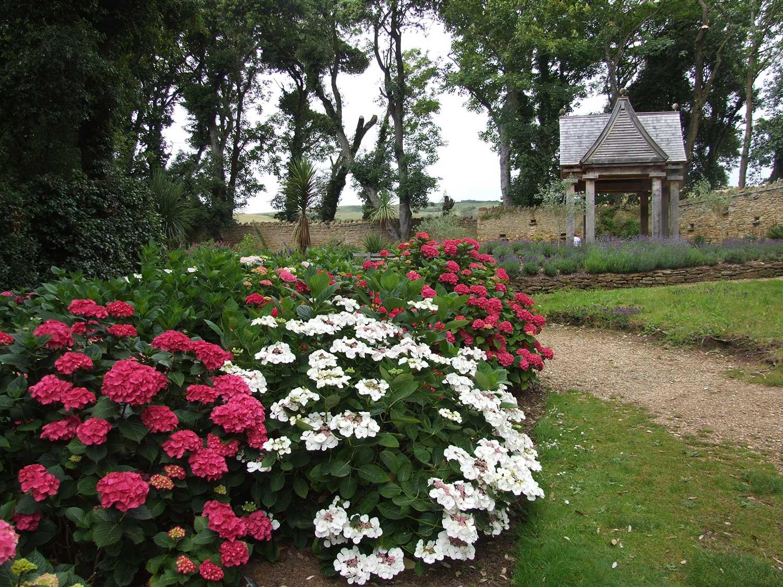 Hydrangeas-in-arboretum