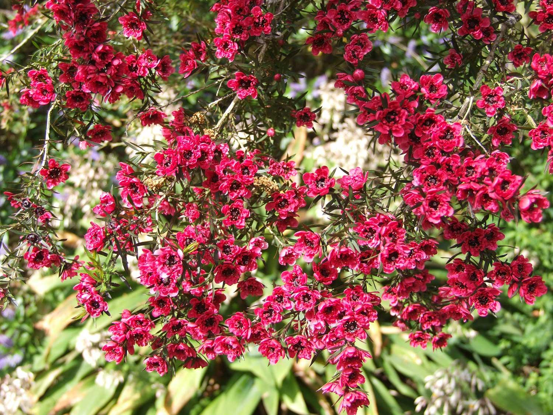 Leptospermum-scoparium-'Burgandy-Queen'