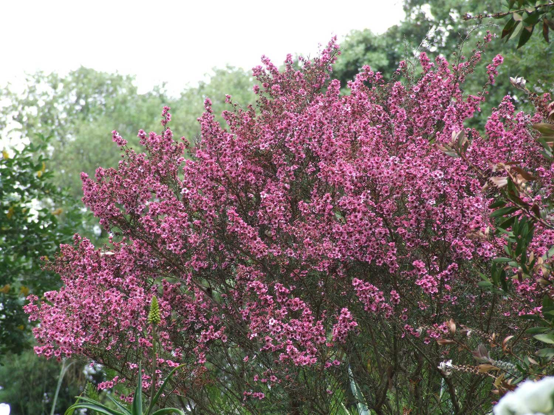 Leptospermum-scoparium-'Martinii'