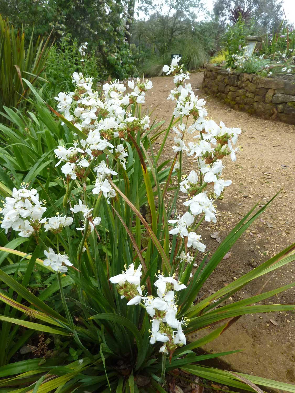 Libertia-grandiflora