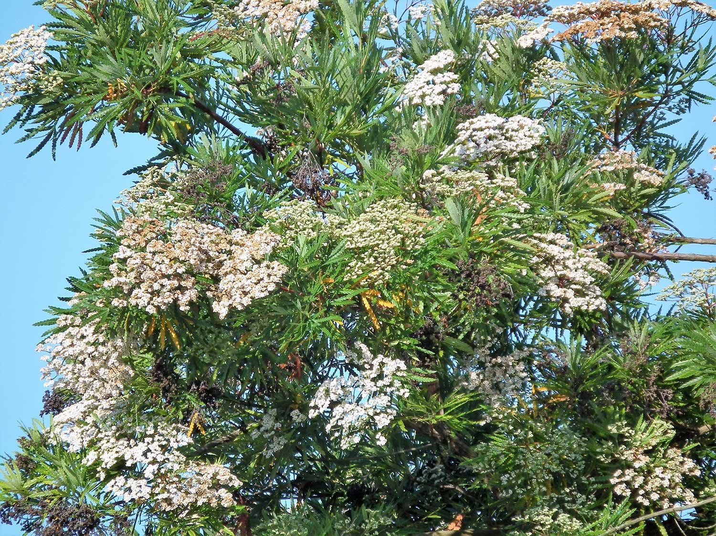 Lymonothamnus-asplenifolius