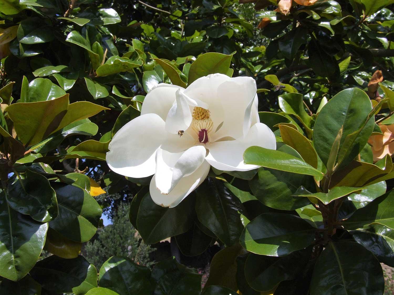 Magnolia-grandiflora-'Goliath'