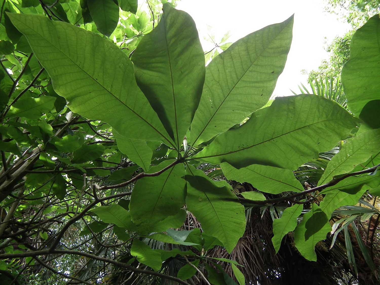 Magnolia-tripetala
